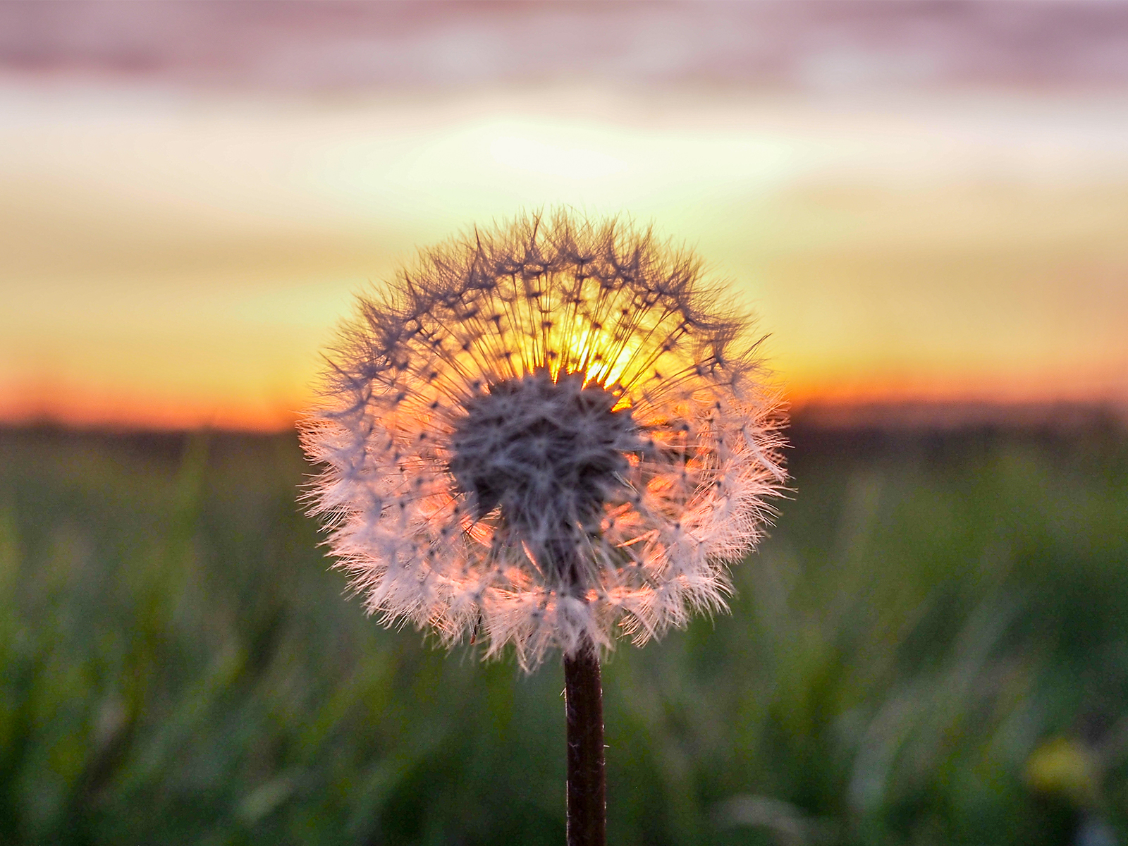 Sunset through a Dandelion - Nieuw Weerdinge