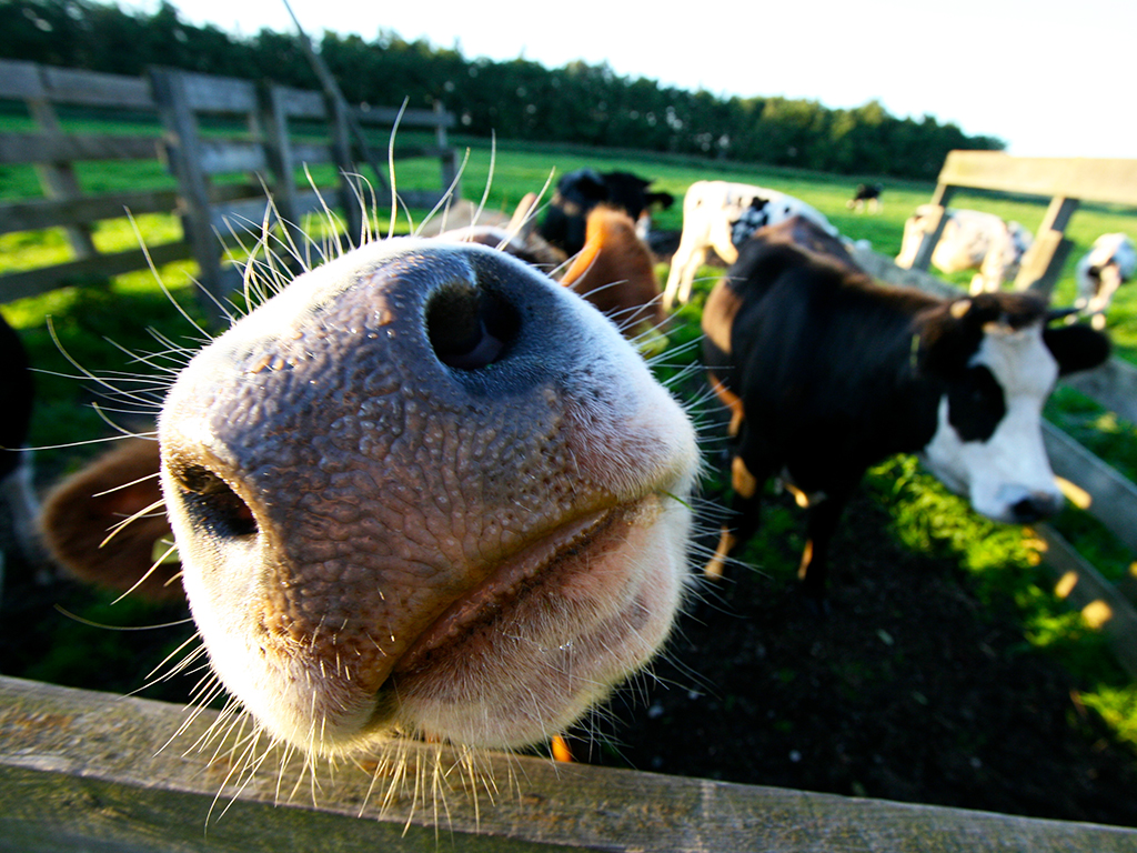 Cows Holland